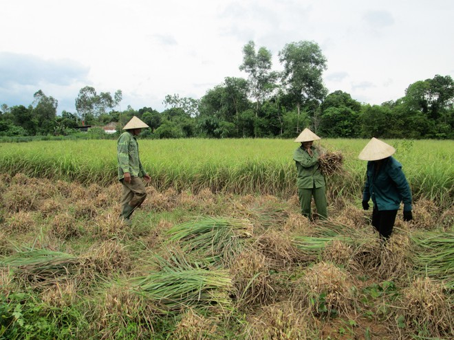 harvest citronella essential oil in vietnam